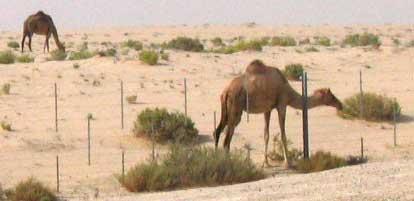 Camels3